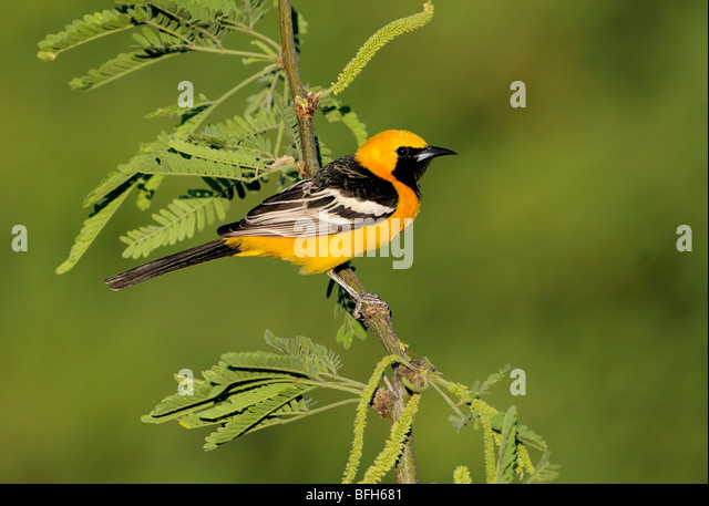 Male Hooded Oriole (Icterus cucullatus) perched at Elephant Head Pond, Arizona, USA - Stock Image