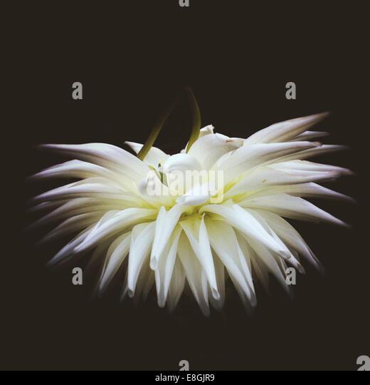 Ireland, Munster Province, County Kerry, Killarney, Close up of white flower - Stock-Bilder
