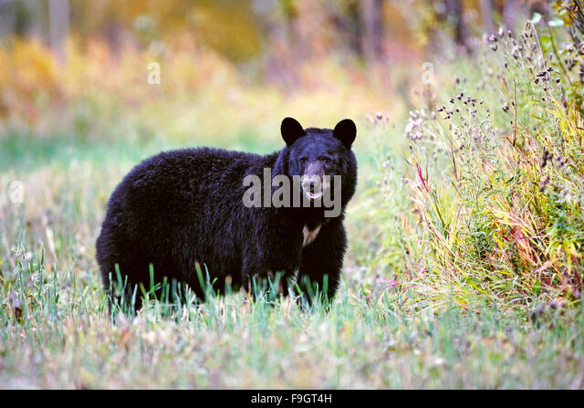 Big female Black Bear standing in meadow, autumn colors - Stock Image