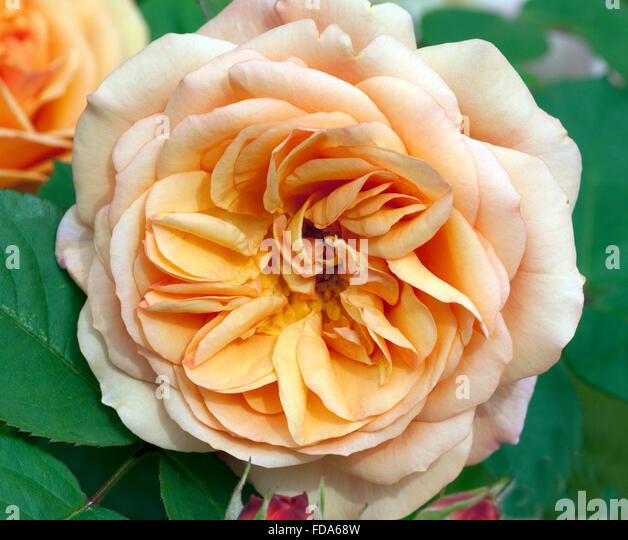 englische rose panoramio photo of englische rose 39. Black Bedroom Furniture Sets. Home Design Ideas