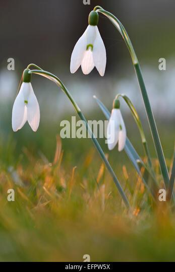 Common Snowdrop (Galanthus nivalis), Germany - Stock Image