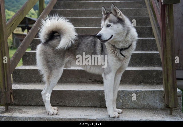 Husky standing, looking back the staircase outside Jaworzec PTTK shelter in Bieszczady National Park Poland - Stock Image