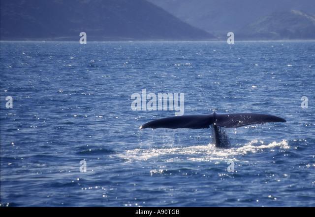 south island Kaikoura Marlborough whale watching - Stock Image