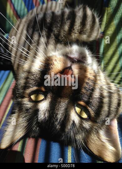 Tiger cat - Stock Image