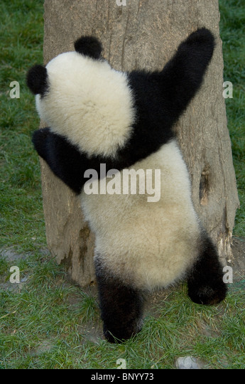 Giant panda cub hugging a tree, Wolong, Sichuan Province, China - Stock Image