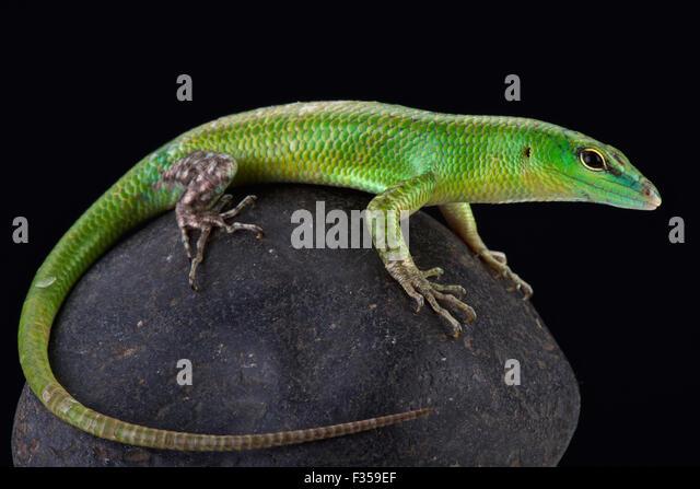 Emerald skink (Lamprophis smaragdina) - Stock Image