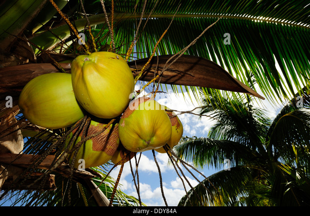 Coconuts hanging from a Coconut Palm (Cocos nucifera) - Stock Image