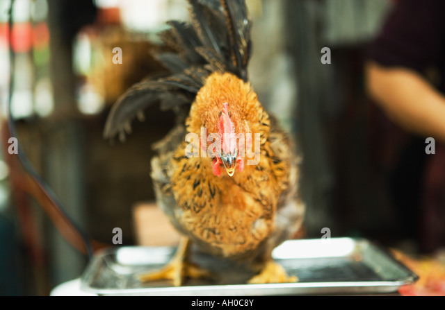 Rooster standing on scale in market - Stock Image