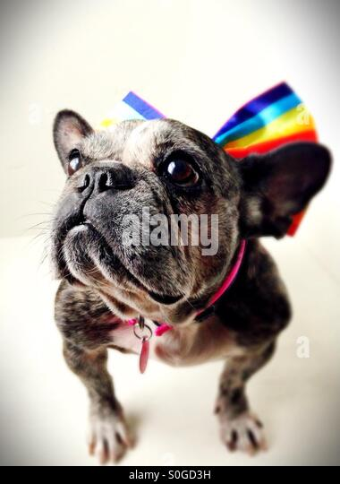 A cute old French bulldog wearing a rainbow striped bow. - Stock-Bilder