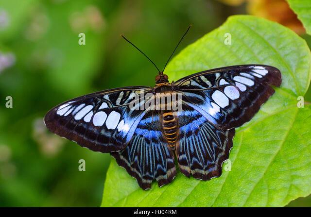 Swallowtail (Parthenos sylvia lilacinus), on a leaf, Malaysia - Stock Image