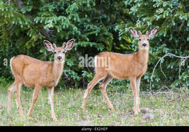 Mule Deer  Odocoileus hemionus Cedar Breaks National Monument, Iron County, Utah, United States 29 June     Young - Stock Image