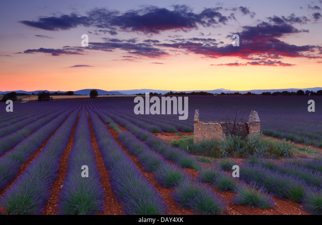 Lavender field at sunset. Provence, France. - Stock Image