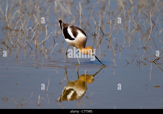 American Avocet Recurvirostra americana Klamath Falls, Oregon, United States 9 May Adult Male in breeding plumage. - Stock-Bilder