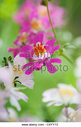 Schizanthus x Wisetonensis Angel Wings. Poor Mans Orchid / Butterfly Flower - Stock Image