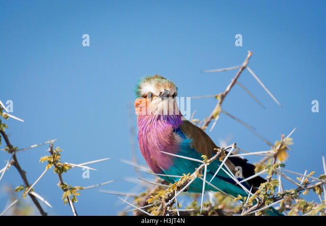 Lilac-Breasted Roller in a branch in the Etosha National Park in Namibia, Africa - Stock-Bilder