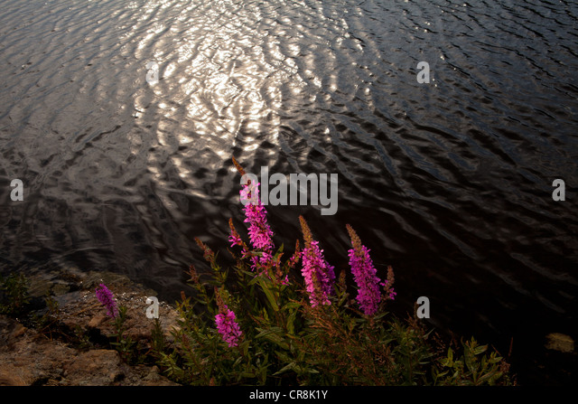 Purple loosestrife at the island Brattholmen in the lake Vansjø, Råde kommune, Østfold fylke, Norway. - Stock-Bilder