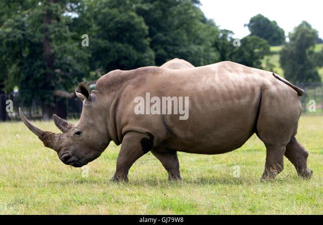 Southern White Rhino rhinoceros family Ceratotherium simum simum at Woburn Safari Park  in Woburn, Bedfordshire, - Stock Image