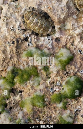 Cuba, Cienfuegos. Trilobites on a coral foreshore, Cienfuegos - Stock Image