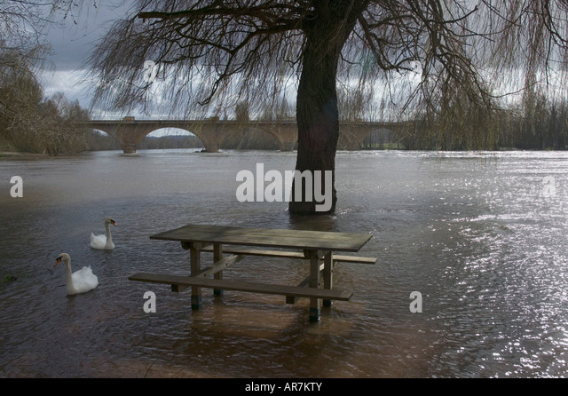 Swans enjoying a picnic area after a river overflows into surrounding land during a period of severe and persistent - Stock Image