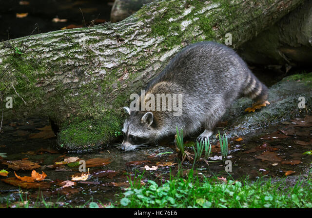 North American raccoon (Procyon lotor), native to North America, drinking water from brook in forest - Stock Image