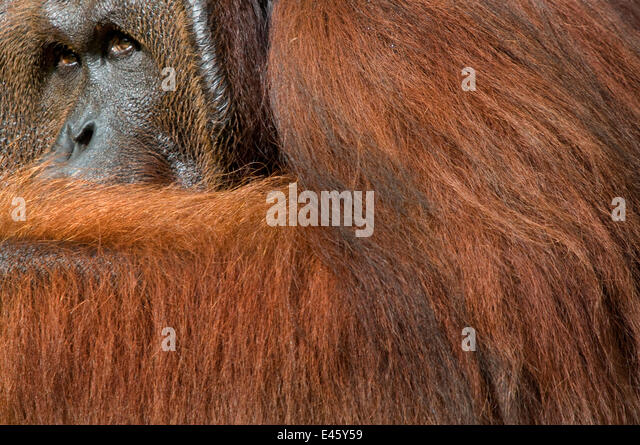 Orang utan (Pongo pygmaeus) head portrait of dominant male called Richie, Semengoh Nature reserve, Sarawak, Borneo, - Stock Image