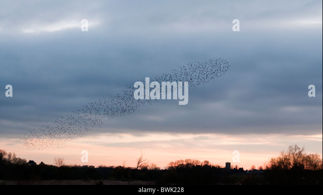 Murmuration exaltation, a starling flock forms a fantastic acrobatic mass before roosting at Brandon Marsh Warwickshire - Stock Image