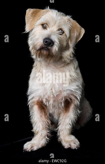Classic studio portrait of an adult wire hair white shaggy Terrier mix dog on black background with floppy ears - Stock Image