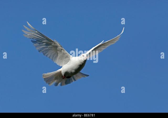 Domestic Pigeon (Columba livia domestica). White dove in flight. - Stock Image