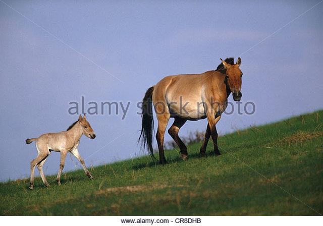 Przewalski's wild horse - Stock Image