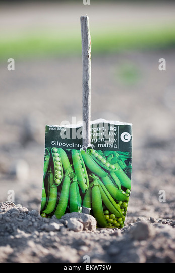 Sowing peas - Stock Image
