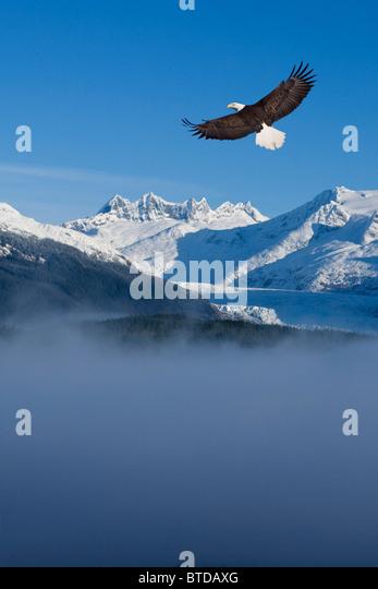 Bald Eagle soars above fog , Tongass National Forest, Coast Mountains, Mendenhall Glacier, Alaska, COMPOSITE - Stock Image