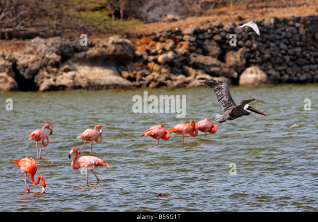 West Indies Bonaire Washington National Park Flamingos and pelican - Stock Image