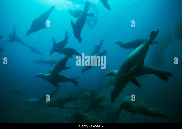 Large group of Californian sealions (Zalophus californianus) swimming underwater, Anacapa Island, California, Pacific - Stock Image
