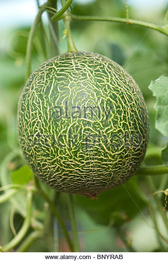 Cucumis melo. Galia Melon on the vine - Stock Image