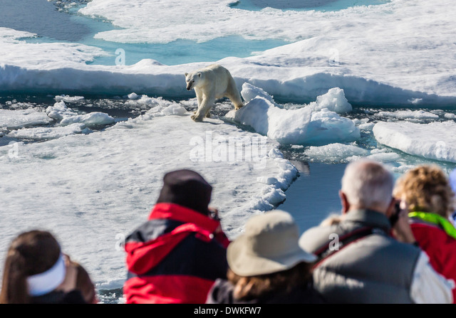 Guests from the Lindblad Expedition ship with polar bear (Ursus maritimus), Cumberland Peninsula, Baffin Island, - Stock Image