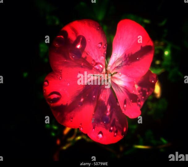 Pelargonium Geranium Stock Photos Amp Pelargonium Geranium