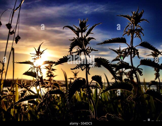 Sunset and nettles - Stock Image