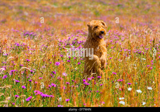 Terrier dog standing on hind legs in wildflower meadow - Stock Image