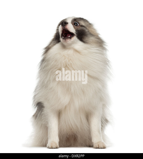 Angry German Spitz sitting against white background - Stock Image