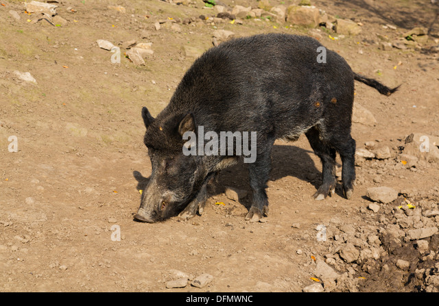 Wild boar at Bolton Castle, Yorkshire - Stock Image