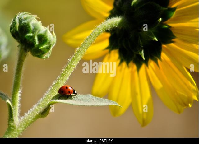 Ladybug on leaf of sunflower, Colorado, America, USA - Stock Image