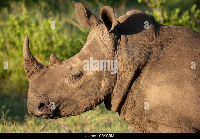 Portrait of a young white rhino - Stock Image