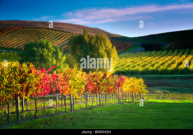 Rows of fall colored grapes. Vineyards of Napa Valley, California - Stock Image