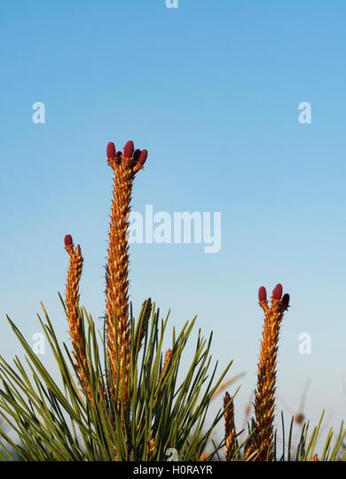 Cones females of maritime pine in spring. - Stock Image