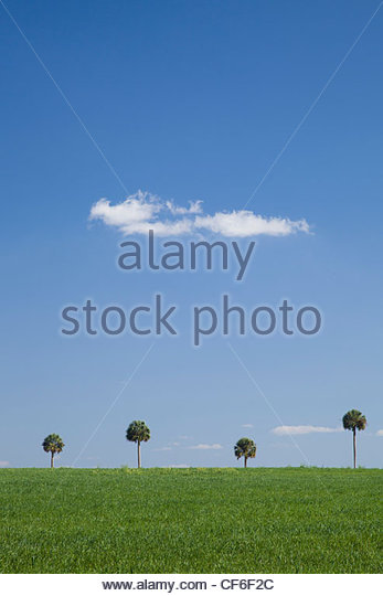 Palm Trees, Central Florida - Stock Image
