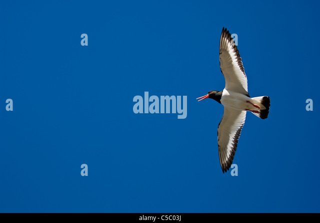 Directly below shot of an Oystercatcher flying with spread wings against clear blue sky - Stock Image