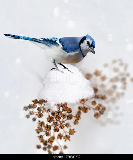 Digital Painting Of Blue Jay In Winter - Stock Image