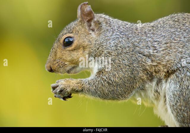 America american animal portrait color image eastern grey squirrel gray horizontal North America North Carolina - Stock-Bilder
