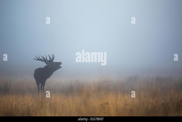 Red deer stag roaring before sunrise in Richmond Park London - Stock Image