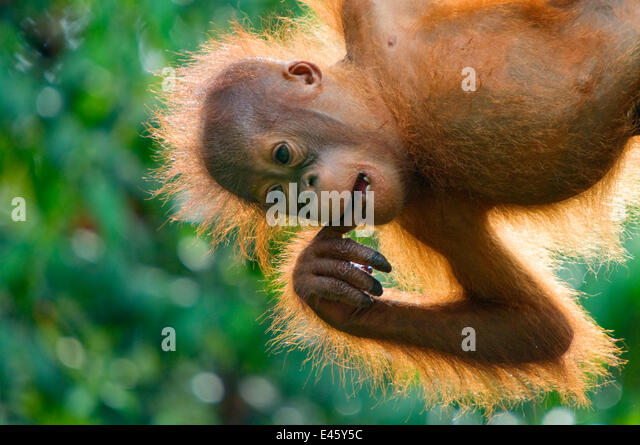 Orang utan (Pongo pygmaeus) baby hanging from trees, and chewing on fingers,  Semengoh Nature reserve, Sarawak, - Stock Image